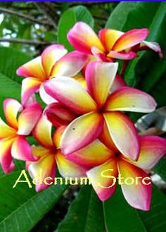 Muai Morgan Jr Plumeria Seeds (6 Seeds)