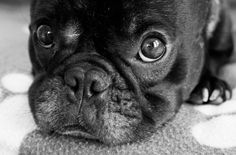 Black Puppy Eyes Black Puppy, Puppy Dog Eyes, Beautiful Horses, Mans Best Friend, Dogs And Puppies, Doggies, Puppy Love, Pugs, Cute Dogs