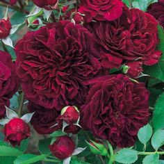 A David Austin rose. Dark red and vigorous with a old rose fragrance. Has been reported as growing very large even in a garden. Romantic Roses, Beautiful Roses, Beautiful Gardens, Types Of Flowers, Pretty Flowers, David Austin Rosen, Rose Foto, Ronsard Rose, Old Rose