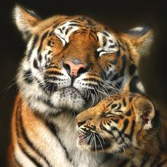 .Tigers cannot purr. To show happiness, tigers squint or close their eyes. This is because losing vision lowers defense, so tigers (and many other cats) only purposefully do so when they feel comfortable and safe