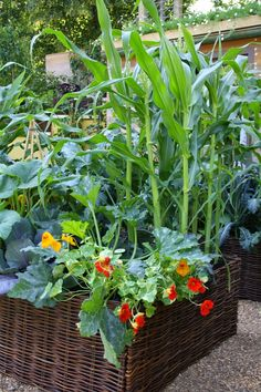 Sweetcorn and naturtiums growing in a raised vegetable bed..
