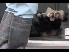Red Panda Scared to Death Falls On His Back - http://www.nopasc.org/red-panda-scared-to-death-falls-on-his-back/
