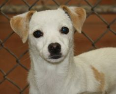 Hello! My name is Macy!  I am about 1 year-old and I am an Italian Greyhound / Chihuahua mix.   Just look at how cute I am!  I have a sweet little face and a delicate smile.  I am gentle and absolutely love to be held.  I will jump right into your arms and shower you with kisses.  I am still young and will need a lot of attention in order to grow into a happy, healthy adult.    I would love to find a forever home.  Maybe that could be with you?