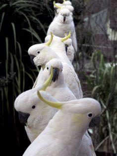 A line of cockatoos