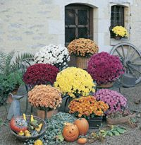 Add Fall Color with Garden Mums