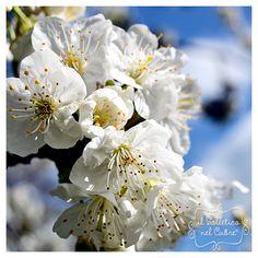 I ciliegi in fiore Spring, Sweet, Garden, Plants, Candy, Garten, Gardens, Planters, Tuin