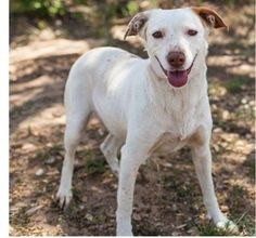 My name is CHINA DOLL. I am 3 years old. I am trained and well-behaved. I weigh 36 pounds so I am just the perfect size. I am a pretty GIRL that is already SPAYED and current on all my vaccinations.  I just need a home that wants me and wants me to love them. I am almost all white with perfect , really unique, orange ears—and I'm cute, too!! I am a Lab mix who is good with KIDS, DOGS AND CATS!!! My temperament is NON-aggressive, friendly, happy and loving.