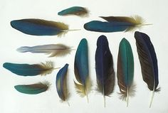 Day 76 of A Collection a Day, 2010 by Lisa Congdon  Blue Feathers #lisa_congdon #blue_feathers #a_collection_a_day
