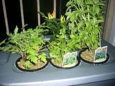 hydroponic gardening beginners http://aquaponicsbusinessplan.blogspot.com/2017/05/hydroponic-gardening-beginners.html?utm_campaign=crowdfire&utm_content=crowdfire&utm_medium=social&utm_source=pinterest