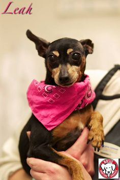 Leah the min-pin Status:Available for Adoption Gender:Female Age:9 yrs old Size:Miniature Weight:6 lbs Breed:MinPin With Dogs:Yes With Cats:TBD With Children:Over 12 years old To be considered for adoption you must fill out an application, be approved and be able meet the dog in person We are located in the MTL, Canada region Foster Family, Foster Care, 12 Year Old, Happily Ever After, Gender Female, Pet Adoption, Fill, Miniature, Canada