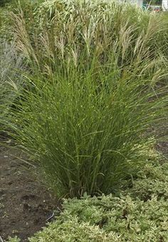 1000 images about ornamental grasses hostas on for Ornamental grasses with plumes