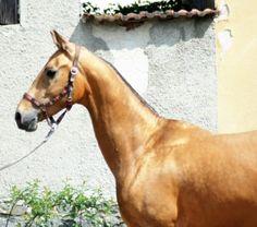 PAHIM 2013 Buckskin Akhal Teke stallion (Schamborant x Penelope)  15.2 h.