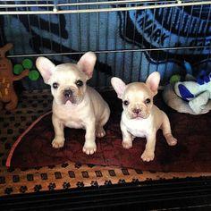 Cute Bulldog frances