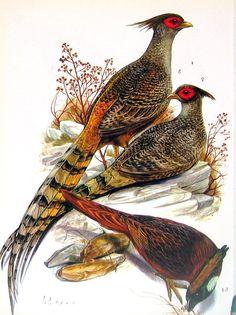 Impresión  Himalaya faisán del pájaro impresión del pájaro