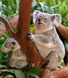 Amazing wildlife - Koala and baby koala photo by Cliff Berinsky Cute Creatures, Beautiful Creatures, Animals And Pets, Baby Animals, Koala Marsupial, Mundo Animal, Cute Funny Animals, Animal Photography, Mammals