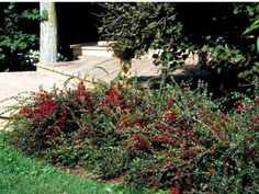The pink flowers on this shrub are followed by red fruit.   Cotoneaster horizontalis  Semi-evergreen arching shrub with dark green foliage, pink flowers followed by red fruit  Plant in fertile, average to moist, but well-drained soil  Plant in full sun to partial shade  Height: 5-6 feet  Width: 6-8 feet  Hardy in USDA zones 4-7:  Zone 4: Plant in spring to prevent winter heaving; plant in full sun; apply extra mulch after first hard frost; avoid contact with salt; may be semi-evergreen in…