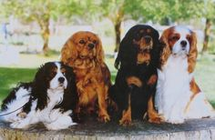 cavalier king charles spaniel  four of a kind