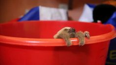 Meet Hope a recently rescued sloth from the sloth sanctuary of Costa Rica http://ift.tt/2iItgN4