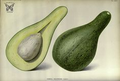 Avocado. Persea-americana [as Persea gratissima] Native to Mexico and Central America. First evidence of it use found in a cave in Coxcatlán, Puebla, Mexico, and dated to 10,000 B.C. The avocado, like the banana, is botanically a berry. (1889)