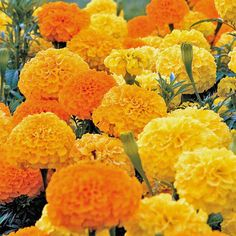 Marigold (Tagetes Erecta Tall Sierra Orange) - This taller variety, known as an African Marigold or Aztec Marigold, looks especially attractive in mass plantings. Sow Marigold seeds to have these large, showy, never fading orange blooms. They will brighten up any garden or flower bed! Tall Marigold flowers are reliable and easily grown from flower seed. The ease of sowing Marigold flower seeds make them popular for children to grow. Marigold plants will perform well in poor soil with good…