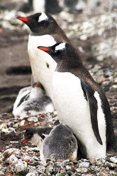 Gentoo penguins in Antarctica with their chicks