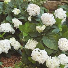 Lighten shady spots with this beautiful shrub. 'Endless Summer Blushing Bride' bears clusters of gorgeous white flowers touched with light pink. Best of all, it reblooms all summer. And it resists unsightly diseases such as powdery mildew.