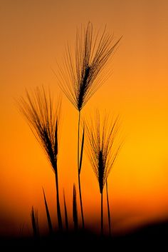 Foxtail barley. Photo: Jerry Mercier, via Flickr