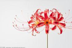 2017 曼珠沙華 かんざし Lycoris, red spider lily Kanzashi, hairstick, headpiece, hairornaments, headdress - by Sakae, Japan Photo by Ryoukan Abe (www.ryoukan-abe.com)   Auction page ▶https://page.auctions.yahoo.co.jp/jp/auction/x506111141  Flickr ▶http://www.flickr.com/photos/sakaefly