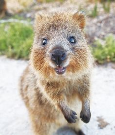 Quokka Selfie Is Cutest Trend In Australia Right Now ...