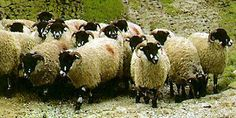 Small flock of Dalesbred Sheep