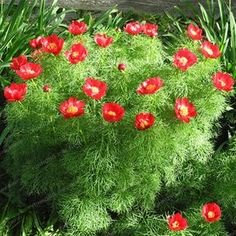 Several years ago a long-time employee of TPP's favorite neighborhood garden shoppe was offering us several perennials at significant discou. Tree Peony, Peony Flower, Flower Seeds, Flower Pots, Paeonia Tenuifolia, Beautiful Love, Ferns, Red Flowers, Perennials