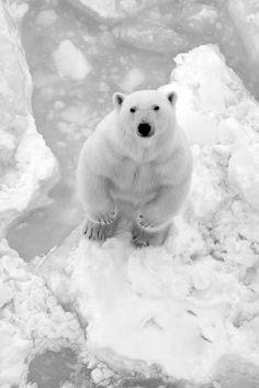 Polar Bear.°