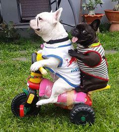 @frenchbulldog_pierre hitching a ride...