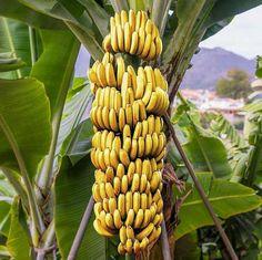 Banana Tree Care - http://aspenspecialtyfoods.com/banana-tree-care
