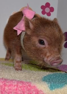 teacup pigs pigs and babies on pinterest. Black Bedroom Furniture Sets. Home Design Ideas