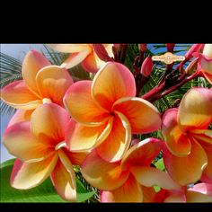 I wish I could have some plumeria in my garden... So beautiful but I'm sure it wouldn't do well in Indiana :(