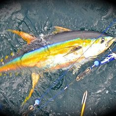 """Veteran anglers often refer to yellowfin tuna topping 200 pounds as """"cows."""" Tuna topping 300 pounds are """"super cows,"""" and catches of these giants are quite rare. However, even larger yellowfin tuna exist within their range in the eastern Pacific. Ocean Fishing Boats, Tuna Fishing, Deep Sea Fishing, Fishing Life, Sport Fishing, Little Fish, Big Fish, Pelagic Fish, Giant Fish"""