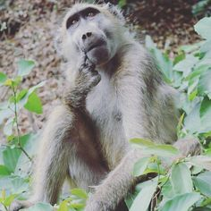 Found this contemplative baboon on the way to the Victoria Falls what do you think he's pondering over? . . Love monkeys too? Check out the link in my bio to find my post about visiting the Monkey Temple in Thailand where the locals hold annual feasts to thank them. . . . . . #travel #traveldudes #wonderfulglobe #travelgram #wanderlust #instatravel #travelphotography #thattravelblog #orbitzpic #thetravelblogs #worldtravelbook #TravelStoke #lonelyplanet #expediapic #bbctravel #travelandlife…