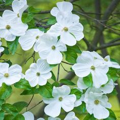 Eddie's White Wonder' is a wonderful Cornus indeed. This Dogwood is well-suited to smaller cottage gardens, for it can be pruned into a multi-stemmed shrub. Even when grown into a tree, the hardy plant's height is limited to around ensuring that Dogwood Trees, Trees And Shrubs, Flowering Trees, Hardy Plants, Garden Living, Planting Flowers, Flower Plants, Dream Garden, Garden Planning