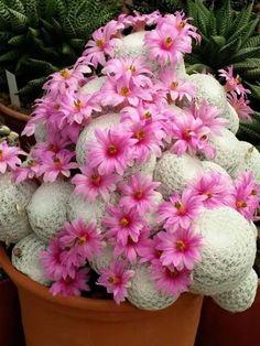 Mammillaria es uno de los géneros de cactus más grandes de la familia Cactaceae, contiene más de 350 especies y variedades reconocidas.