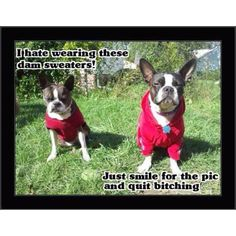 """I HATE these darn sweaters!""....""Just shut up and SMILE!"", French Bulldog and Boston Terrier❤️❤️"