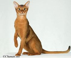 wain harding | 2005 Best-10th Best Abyssinian Cats in Championship