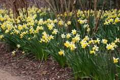 Daffodil Gardens and Events 2020 Calendar - Pumpkin Beth Daffodil Day, Daffodil Bulbs, Daffodils, Spring Flowering Bulbs, Spring Bulbs, Savill Garden, Sussex Gardens, Herbaceous Border, Painting Competition