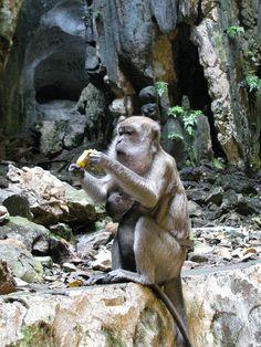 Batu Caves Monkeys, Kuala Lumpur