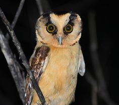 Buff-fronted Owl (Aegolius harrisii). Photo by Alan Van Norman.