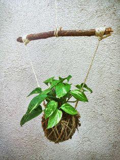 Unique Kokedama Ball Ideas for Hanging Garden Plants Indoor Plant Wall, Hanging Plant Wall, Indoor Plants, House Plants Decor, Plant Decor, Succulents Garden, Garden Plants, Shower Plant, Plant Projects