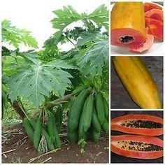 "Vietnamese Dwarf Cylindrical Papaya ""Kaek dahm"" Low Bearing Tree Papaya 50 Seeds: Amazon.com: Grocery & Gourmet Food"