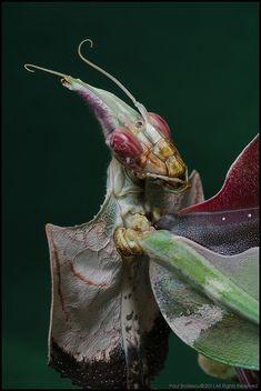 The Empress Mantis