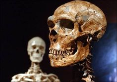 reconstructed Neanderthal skeleton, right, is displayed next to a modern human skeleton at the Museum of Natural History in New York. A new study shows humans and Neanderthals interbred years ago, far earlier than thought. Ancient Aliens, Ancient History, Ancient Egypt, Homo Sapiens Sapiens, Crane, Human Family Tree, Human Genome, Early Humans, Human Evolution
