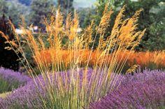 Planting combination of ornamental grasses (Stipa gigantea) and lavender (Lavandula angustifolia �Hidcote�)